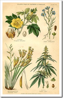 cannabis_sativa7
